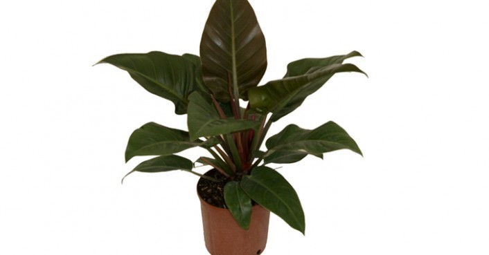 philodendron-706x369.jpg