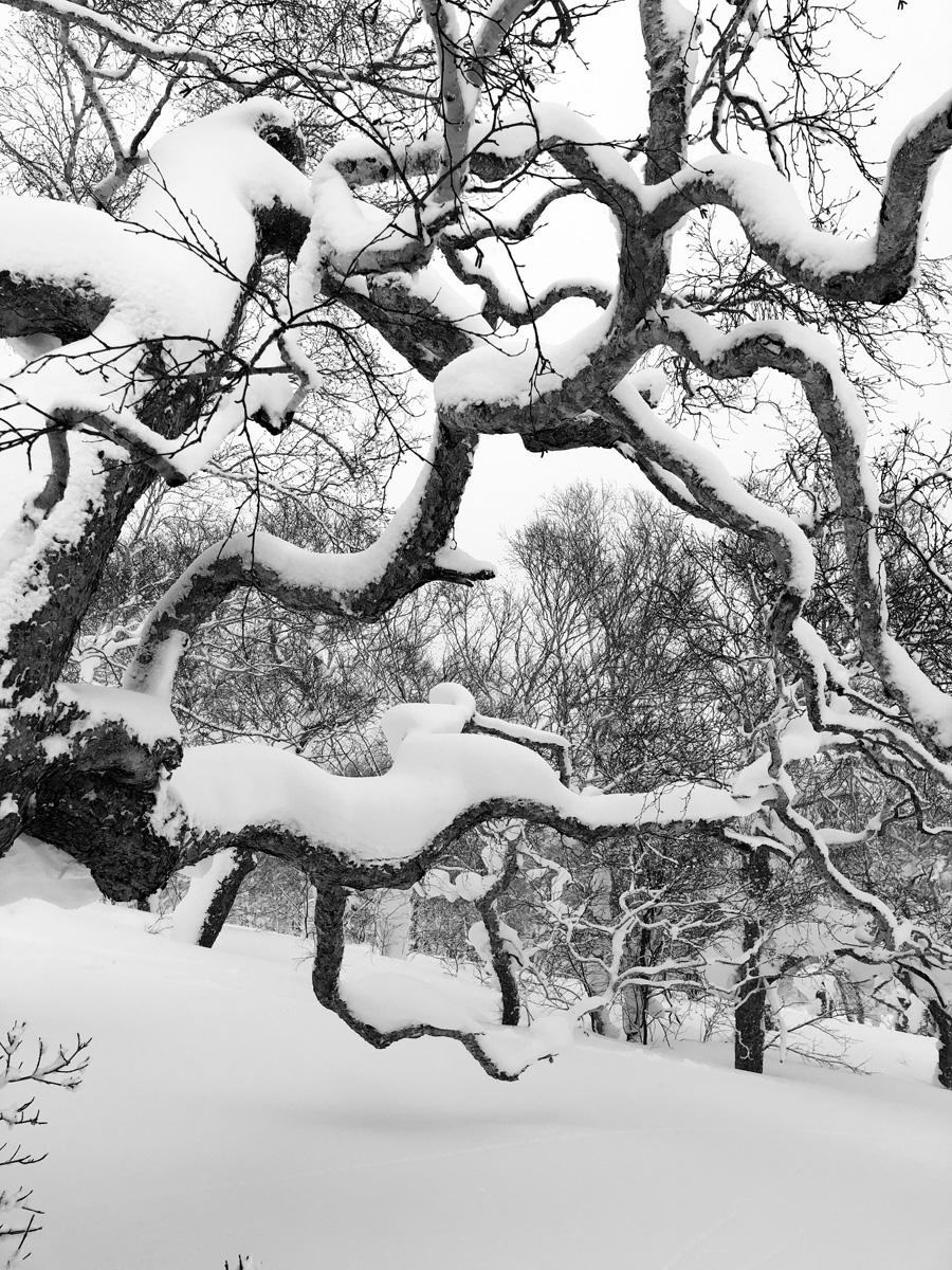birch trees on mount yotei japan.jpg