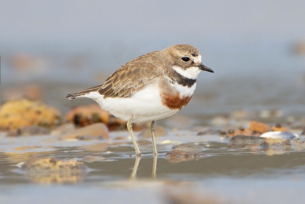 Banded dotterel.  Image by JJ Harrison (CC BY-SA 3.0).