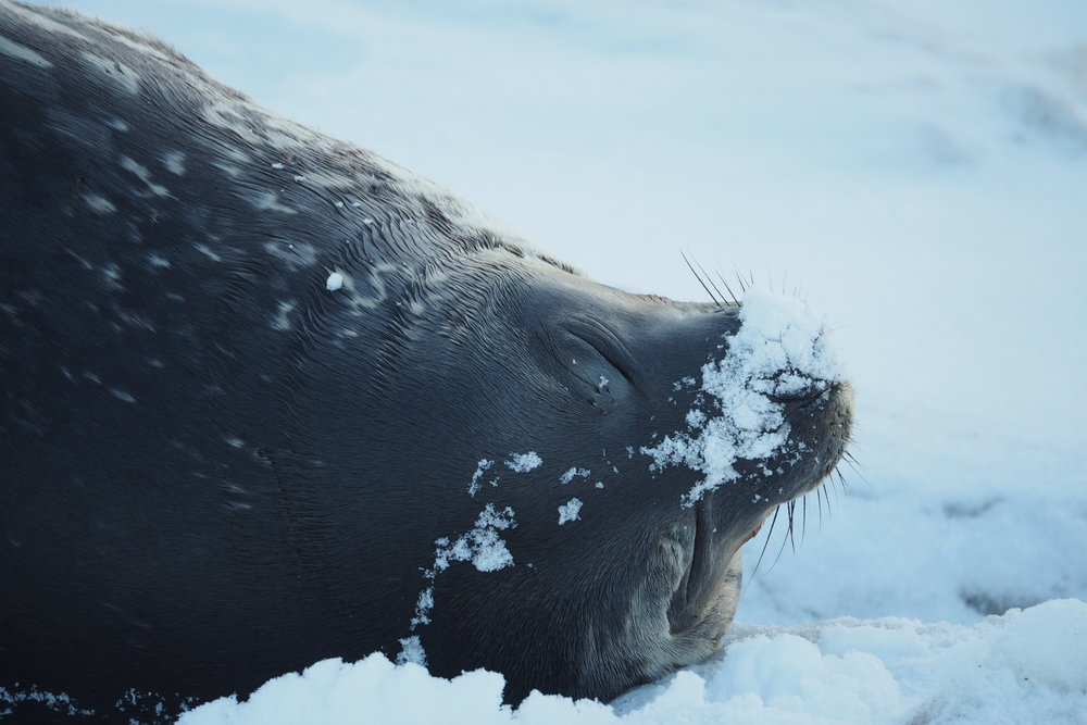Weddell seal, Balleny Islands