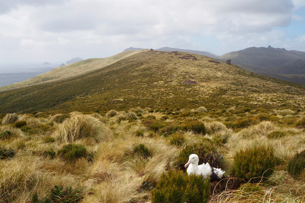 Southern royal albatross, Campbell Island