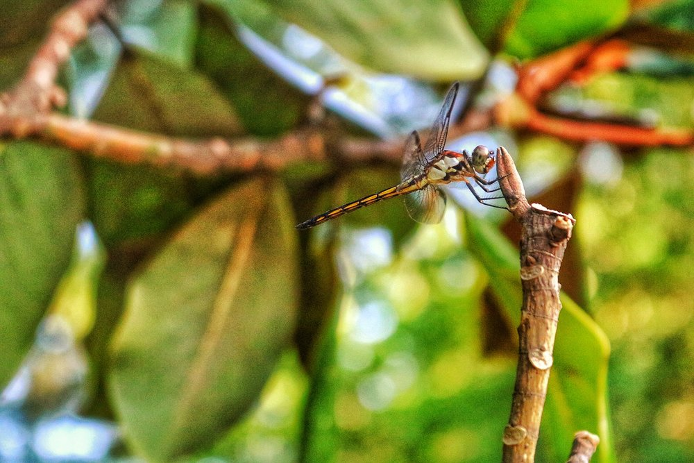 Dragonfly, Iris Garden Swan Lake, Sumter, SC United States
