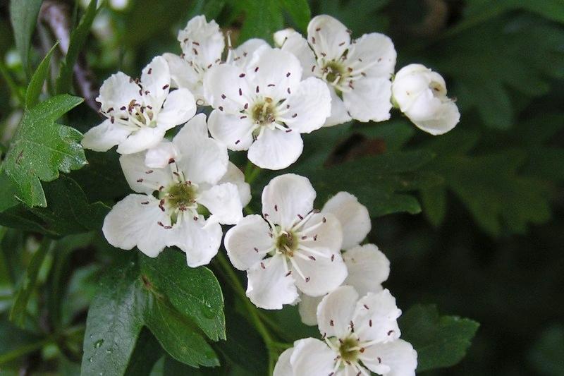 Common_hawthorn_flowers.jpg