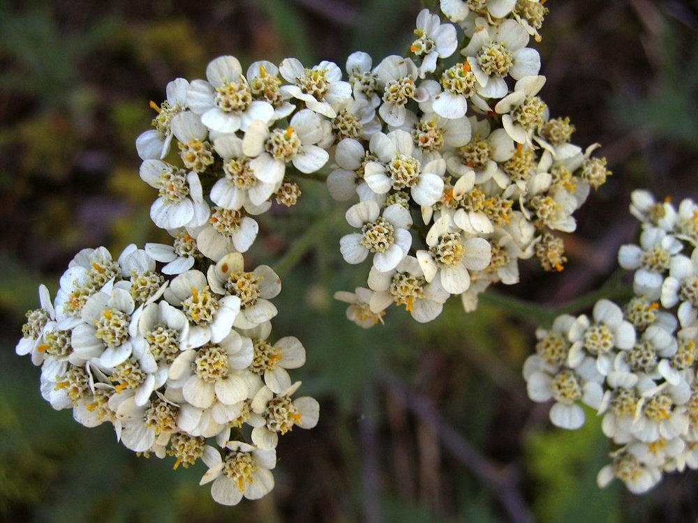 1200px-Yarrow,_Achillea_millefolium,_Yosemite.jpg
