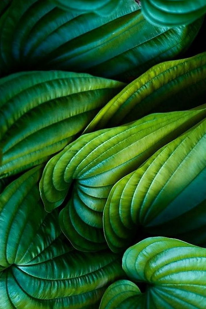 18_Hosta Leaves_nature.jpg