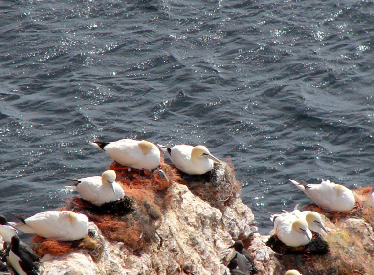 22_MP_106_gannets breeding on plastic waste 3.jpg