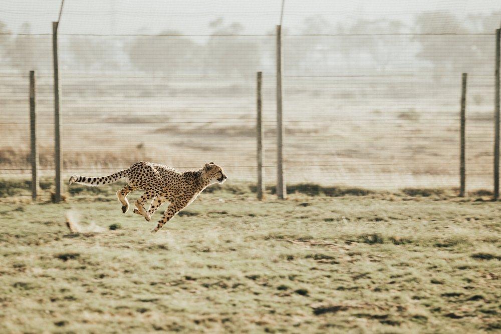 cheetah running.jpg