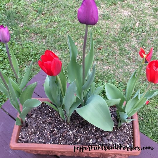 Tulips on my back deck
