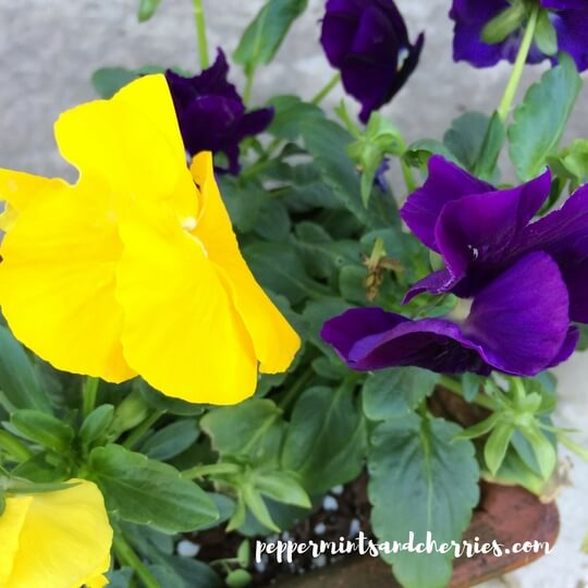 Pansies living since the fall!