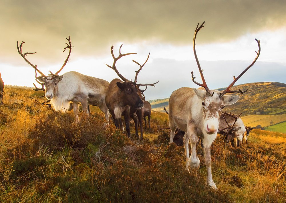 Some of the reindeer relaxing on the hill © John Paul
