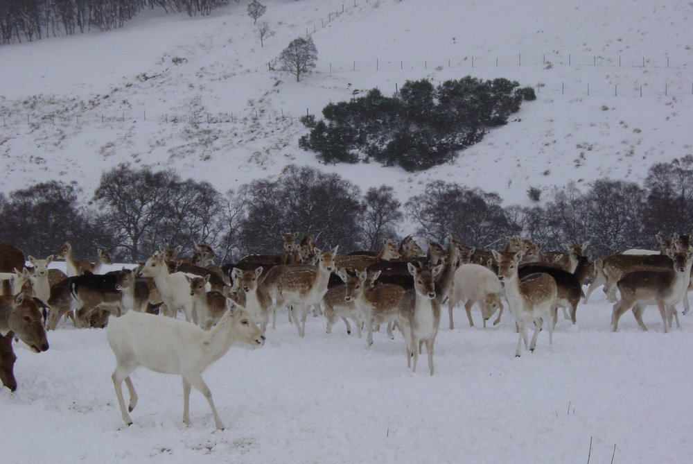Fallow in the snow