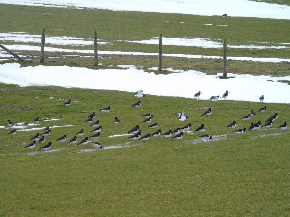 Oystercatchers pleased to see the snow receding