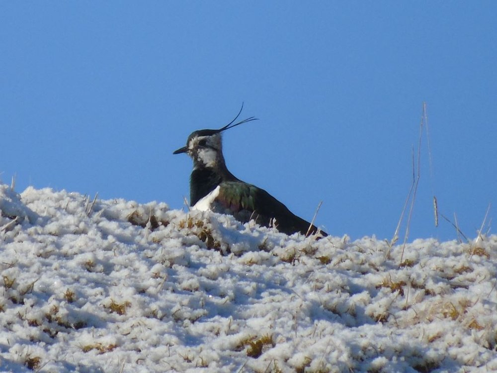 Lapwing in the snow