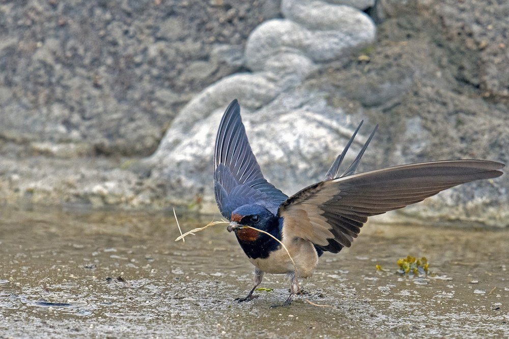Barn swallow with spread wings