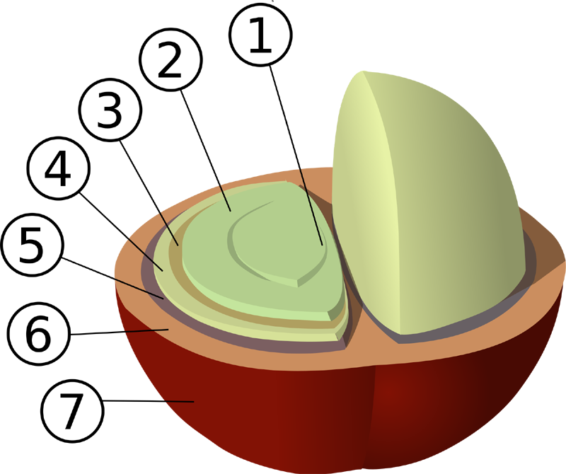 Structure of a coffee cherry:   1: center  2: bean  3: silver skin  4: parchment  5: pectin layer  6: pulp  7: outer skin