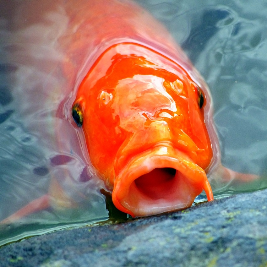 Why Fish Gasp for Air at the Surface of Your Pond — TotalPond