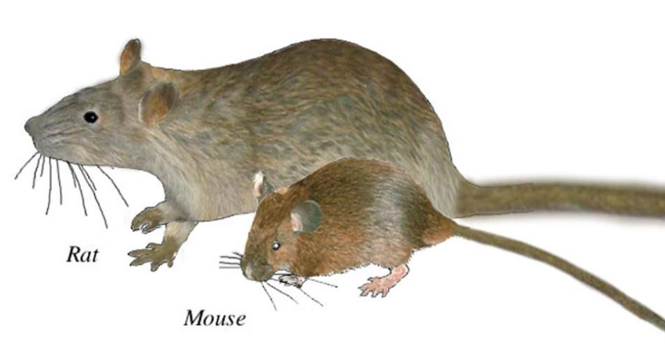 Mouse and rat.JPG
