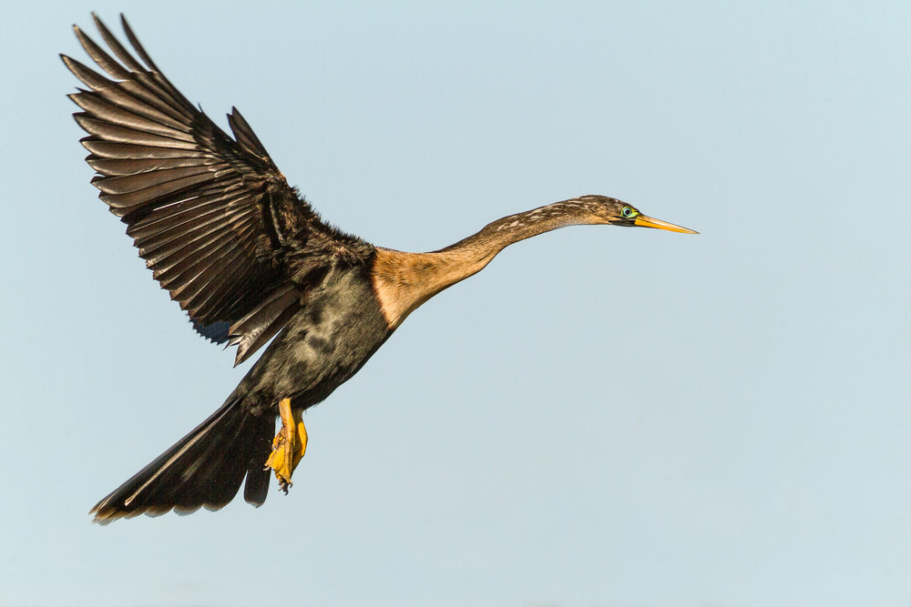 Anhinga landing at the Venice Rookery.
