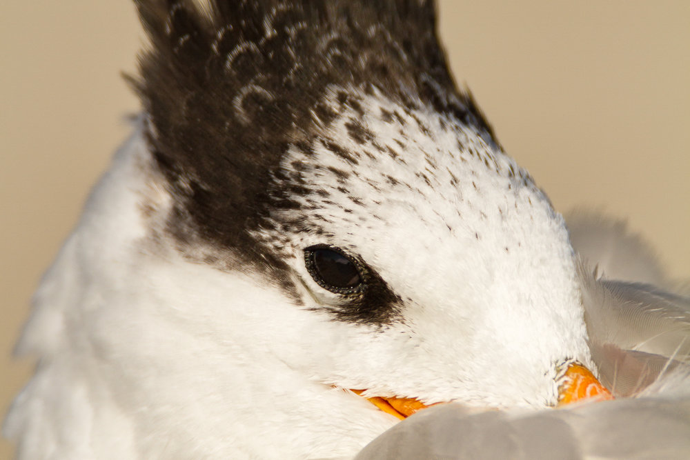 Royal Tern trying to take a nap.