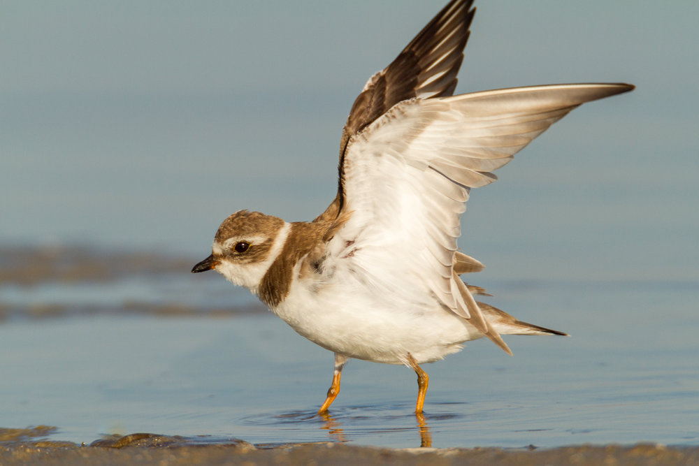 Juvenal Semipalmated Plover stretching.