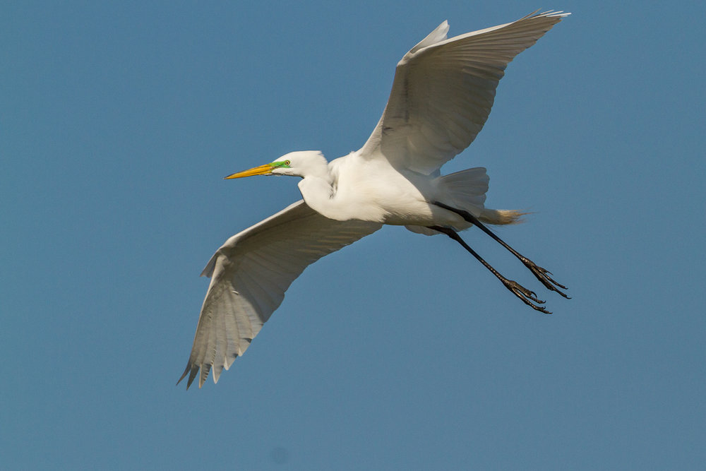 Great Egret doing a flyby.