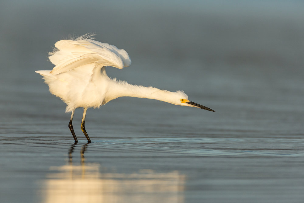 Snowy Egret stretching.