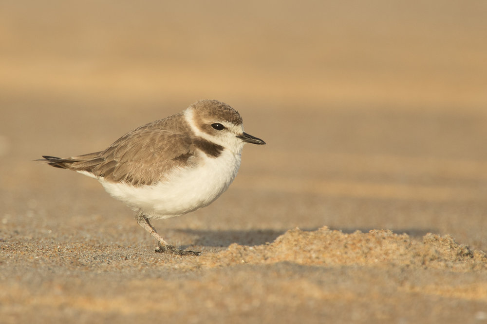 Snowy Plover searching for food.