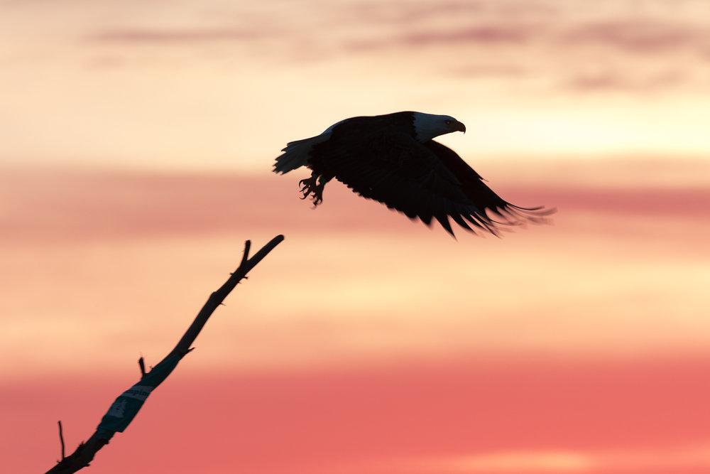 Bald Eagle taking flight at sunrise.