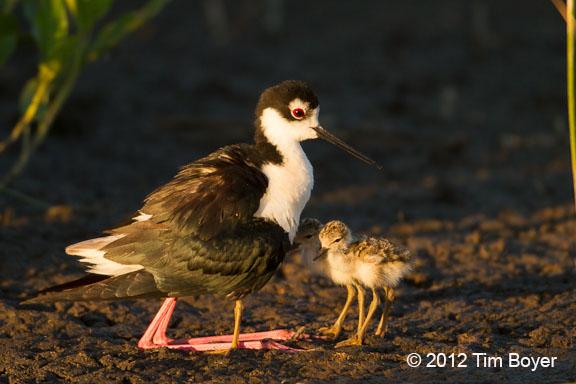 Black-necked Stilt with 3 chicks