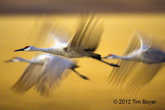 Cranes Evening Flight