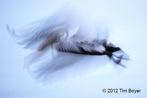 Pelican Blur