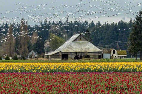 Snow Geese and  tulips in the Skagit Valley.