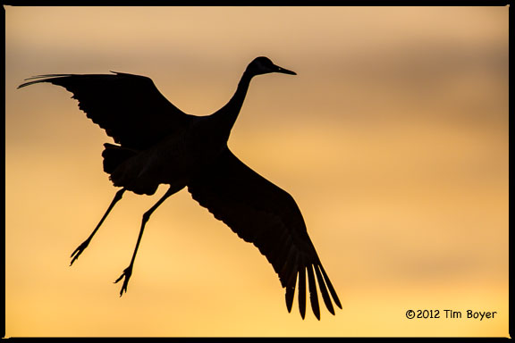 Crane coming in to Roost