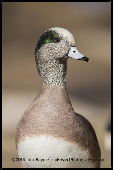 American Wigeon, Santee Lakes, CA