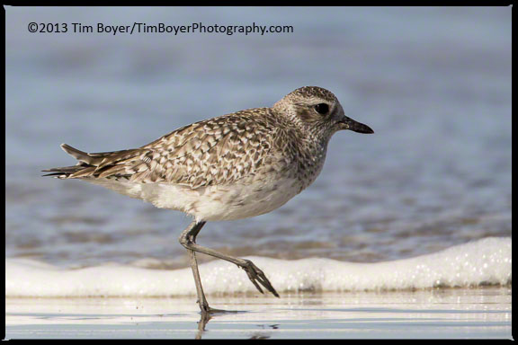 Black-bellied Plover in winter plumage hanging out in Coronado.