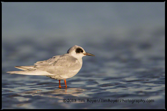 A basic/winter plumage Forster's Tern hanging out on the San Diego River.