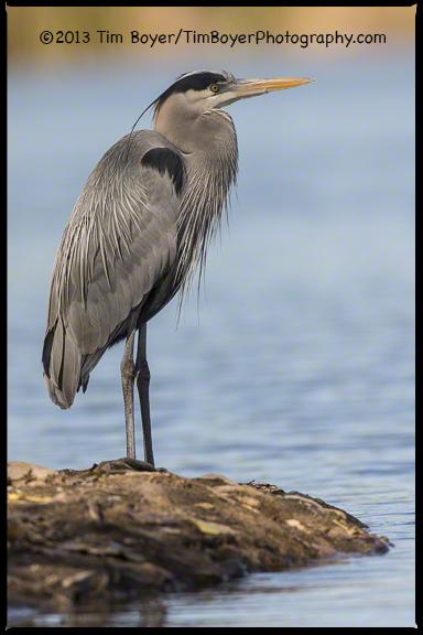 Great Blue Heron, Santee Lakes, CA