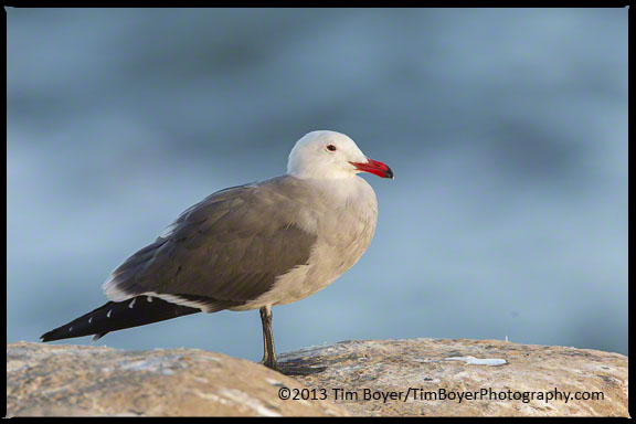 Adult Heermann's Gull roosting on the La Jolla cliffs.