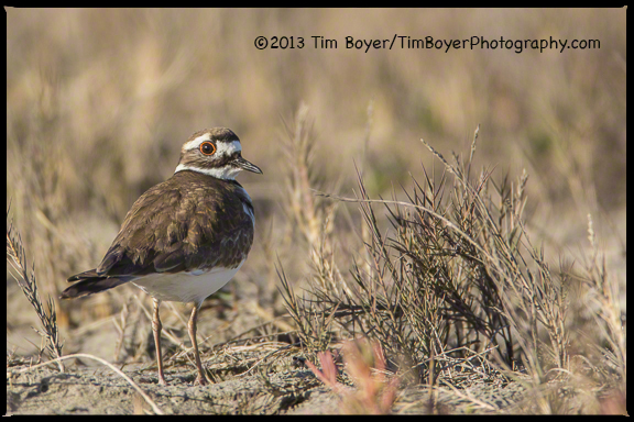 A Killdeer along the banks of the San Diego River.