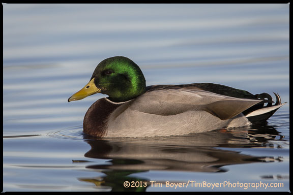 While Mallards are very abundant and we see them everywhere, they are still quite striking in the right light.