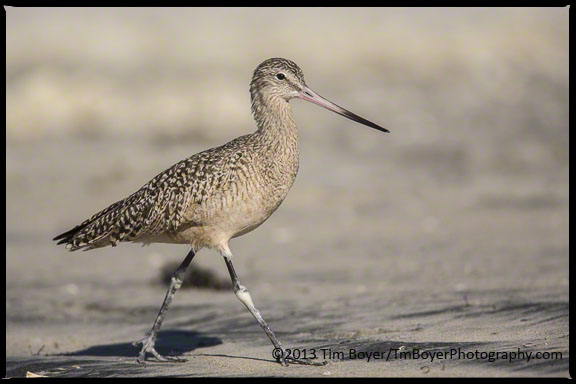 Marbled Godwit at Coronado Beach.