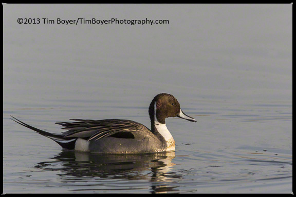 Northern Pintail, drake at Bolsa Chica.