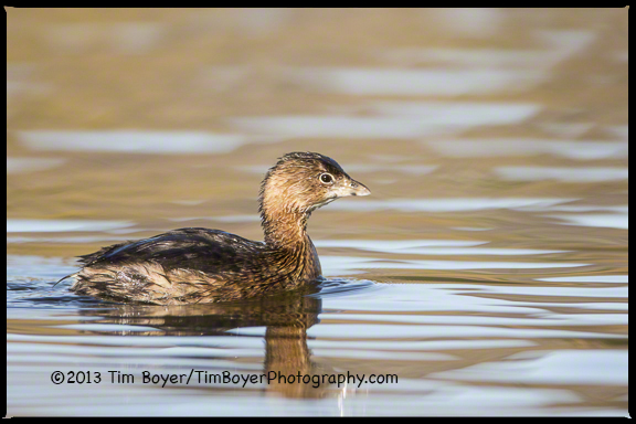 Pied-billed Grebe, Santee Lakes CA