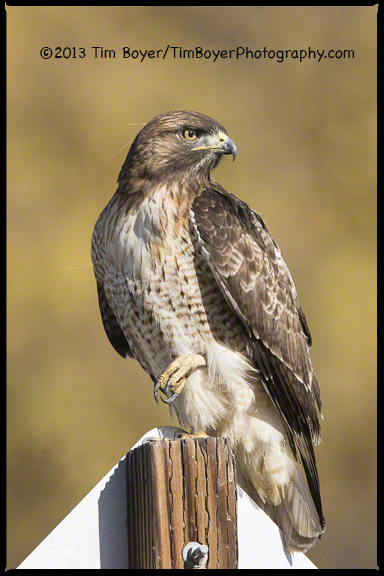 Red-tailed Hawk, Santee Lakes, CA