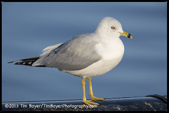 Ring-billed Gull, Gene Coulon Park, Renton Washington