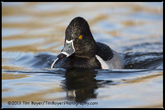 Ring-billed Duck, Santee Lakes, CA
