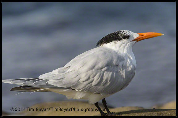 A Royal Tern waiting to fish the incoming tide.
