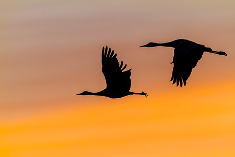 Sandhill Cranes leaving the  roosting ponds headed for the  corn fields where they will feed all day.  Spectacular light is just one of many reasons to  visit Bosque.