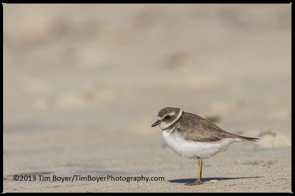 Semipalmated Plover hanging out on the Coronado beach waiting for a low tide so it can forage for food.