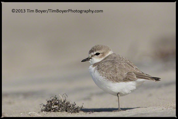 Wintering Snowy Plover on the beaches south of Coronado.